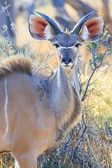 Young kudu (patrickburtin) Tags: