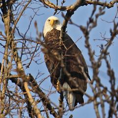 Bald Eagle (Le Monsieur de le Coin Bureau) Tags: wildlife nature wayne newjersey nj baldeagle eagle bird