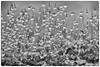 Im Tropfenrausch SW (AchimOWL) Tags: macro makro natur nature gx80 outdoor schärfentiefe wasser wassertropfen tropfen heiter bokeh dewdrops tautropfen makrotautropfen gotas drops drop rain acqua water waterdrops macros ngc sporenkapsel sporophyt wildlife mauerdrehzahnmoos tortulamuralis moos mauer natursteinmauer dezember sw schwarzweis