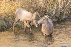 Bighorn Sheep ram checks out a nearby ewe