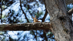 Funny animals (2/2) : Surprise !! it's me again (Franck Zumella) Tags: funny amusant ecureuil squirrel red roux rouge forest tree foret arbre big small grand petit branch banche animal wildlife nature vie sauvage sky ciel bleu blue vert green