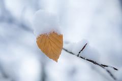 Au coeur de l'hiver (Fabien Husslein) Tags: leaf feuille hiver winter nature bokeh branche snow neige