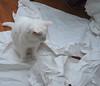 Charlie on the paper (rootcrop54) Tags: charlie white allwhite male cat shipping paper neko macska kedi 猫 kočka kissa γάτα köttur kucing gatto 고양이 kaķis katė katt katze katzen kot кошка mačka gatos maček kitteh chat ネコ cc100 cc300