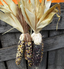 Indian Corn Display. (dccradio) Tags: smithsburg md maryland ivyhillfarm farmstore orchardstore ag agricultural agriculture produce harvest autumn fall corn dried indiancorn wood canon powershot a3400is