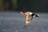 Wigeon Flyby (westcoastcaptures) Tags: sonya99ii minoltaaf400f45hsg wideopen f45 bird waterbird duck widgeon bif inflight sunlit lowsun water ocean oceanside esquimaltlagoon wings action