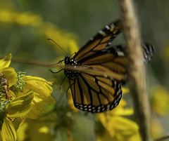 MonarchButterfly_SAF2078 (sara97) Tags: danausplexippus butterfly copyright©2017saraannefinke endangered insect missouri monarch monarchbutterfly photobysaraannefinke pollinator saintlouis flight inflight