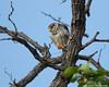 Northern Hobby Falcon (leendert3) Tags: select leonmolenaar wildlife nature krugernationalpark southafrica birds eurasionhobby ngc coth5 npc