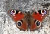 Aglais io, le paon du jour, the peacock, prenant le soleil sur un muret. (chug14) Tags: animalia papillon butterfly arthropoda hexapoda insecta lepidoptera papilionoidea nymphalidae nymphalisio papilioio vanessaio paondujour peacock unlimitedphotos inachisio aglaisio nymphalinae