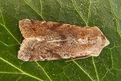 2188-P1120660 Clouded Drab (Orthosia incerta) (ajmatthehiddenhouse) Tags: stmargaretsatcliffe kent uk 2017 garden moth hadeninae noctuidae cloudeddrab orthosia incerta orthosiaincerta