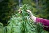 outdoor 2.0 (hurttakoirajarakkipiski) Tags: weed ganja outdoor bud finola hamppu hemp marihuana marijuana cannabis kannabis green 420 medicine