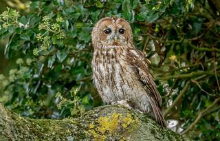 JWL0291  Tawny Owl...