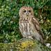 JWL0291  Tawny Owl... by jefflack Wildlife&Nature