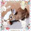 ICHIGO san 80 (Ichigo Miyama) Tags: いちごさん。うさぎ ichigo san rabbitbunny netherlanddwarf brown ネザーランドドワーフ ペット いちご うさぎrabbit うさぎ