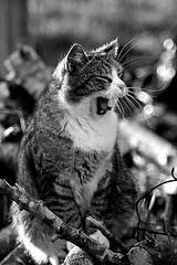 Feeling sleepy (Zèè) Tags: chat cat cats katze kot kitty katzen katt kat tabby tigre yawn yawning tired noirblanc noir natur nature black blanc bw white monochrome outdoor outside blackandwhite