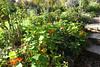 Weimar am 15.10.2017 (pilot_micha) Tags: 15102017 blumengarten blüte deutschland garten goethesgarten herbst kresse oktober2017 statdt thüringen weimar autumn blossom city kreisfreiestadt de