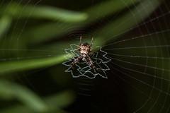 Heptagonal Orbweaver (Matt Claghorn) Tags: geaheptagon orbweaver ohiospiders stabilimentum spider tokina100mmf28 nikond50