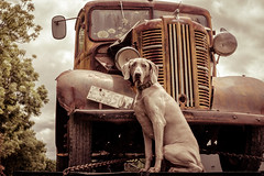 ºº VinTage ToSH – 12 today ºº (m+m+t) Tags: dscf471717 tosh weimaraner dog newzealand northisland clareville vintage antique birthday 12 fujixt1 fujixseries fujimirrorless truck rust rural decay senior 35mm