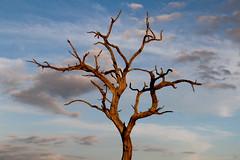 dead tree....still standing (lautxi) Tags: kruger tree nature blue sky silueta silhoutte southafrica sudafrica friendlychallenges