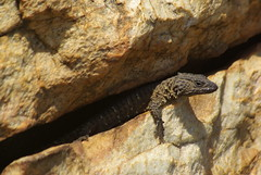 Mystery Smaug (zentience) Tags: lizard akkedis gordelakkedis skurwejantjie cordylidae cordylid reptiel reptile herpetology herps herping