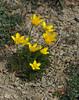 Ranunculus millefoliatus (Todd Boland) Tags: flowers buttercup ranunculus ranunculaceae greece