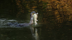 a cormorant with a big fish (1/4) (Franck Zumella) Tags: cormorant cormoran bid oiseau lake lac water eau fish poisson nature wildlife vie sauvage food eat sony a7s a7 tamron 150600