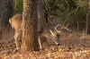 Sneakin' (Lindell Dillon) Tags: buck whitetail deer wildlife nature oklahoma light goldenhour morning fall wildoklahoma