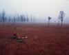 Red carpet (JaZ99wro) Tags: autumn provia100f tetenal3bathkit lf zieleniec 4x5 film exif4film polska graflexcrowngraphic e6 peatbog epsonv750 fog analog largeformat l036a poland