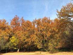 Fall color at Crescent Moon Ranch (November 15, 2017) (Coconino National Forest) Tags: sedona sedonaaz crescentmoon crescentmoonranch redrockcountry redrockcrossing fallcolor autumn fallcolors fallfoliage