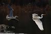 145.jpg (Kico Lopez) Tags: miño lugo aves galicia birds garcetagrande ardeaalba spain rio