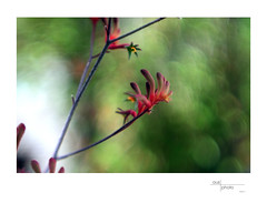 Kangaroo Paw (heritagefutures) Tags: kangaroo paw albury nsw australia cindo 85mm cinematic projection lens brass focussing mount filter stepdown stepup rings 7267mm 6772mm 5272mm 3952mm m39 nikon f adapter antique camera simulator