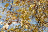 Autumn Leaves. (dccradio) Tags: lumberton nc northcarolina robesoncounty outdoors outside nature natural sky bluesky clouds scenic beauty beautiful pretty nikon d40 dslr tree trees autumn foliage leaves leaf fall branches treebranches treelimbs sticks yellow yellowleaves