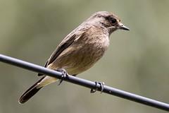 Pied Bushchat (chrisbarber6) Tags: sigma500mmf4 canon7dmark2 mysore karnatakabirds indianbirds birdphotography bird femalebird bushchat piedbushchat