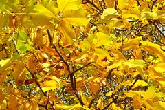 P1270700 (steve p2008) Tags: burtonupontrent autumn november2017 woodland trees