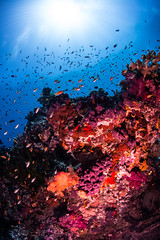 A riot of fish (b.campbell65) Tags: animal animals aquarium aquatic background beautiful beauty biodiversity blue color colorful conservation coral corals dive diving environment exotic fiji fish healthy island life marine natural nature ocean pacific red reef remora saltwater scenery scenic scuba sea seascape soft softcoral south tourism travel tropical underwater vacation water wildlife