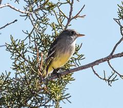 Hutton's Vireo (Vireo huttoni): Arizona (mharoldsewell) Tags: 2017 arizona d7200 huttonsvireo nikon november vireohuttoni bird birds mharoldsewell mikesewell photos santacruzcounty