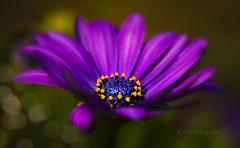 Mittagsblume (K&S-Fotografie) Tags: flower garden mittagsblume summer beauty plant yellow lila outdoor bokeh makro blume