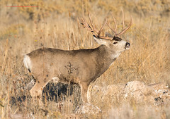 To the Victor go the Spoils (Fly to Water) Tags: mule deer trophy buck non typical nontypical big game animal antlers monster muley outdoors wild wildlife photography utah nikon professional