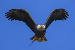 Just a fly by.... (ThruKurtsLens.com) Tags: 2017 baldeagle eagle fallcolors fish flying kurtwecker nature naturephotographer talons thrukurtslenscom wildlifephotographer wildlifephotography