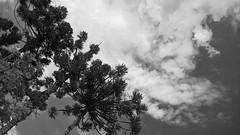 Debaixo das nuvens.. (medeirosisabel16) Tags: tree sky nature peb campos do jordão cell phone celular preto branco black white cloud nuvem bw monocromático