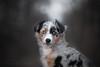 Bacardi (Anna Bronikowska) Tags: huskana annabronikowska puppy aussie australianshepherd bluemerle bluemerletri