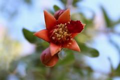 Flor de Granado. (Twolentino) Tags: natural frutas granado flor oaxaca méxico