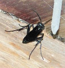 Blue Mud Wasp. Chalybion californicum. Sceliphrinae
