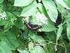 Limenitis_sp (1) (bouillons vagabonds) Tags: bosnie lépidoptères rhopalocères