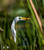 112320170953 (Lake Worth) Tags: animal animals bird birds birdwatcher everglades southflorida feathers florida nature outdoor outdoors waterbirds wetlands wildlife wings canoneos1dxmarkii