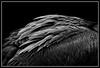Featherit (VegasBnR) Tags: nikon sigma nature feathers pelican flamingohotel vegasbnr vegas blackandwhite bw bird gimp challengegamewinner