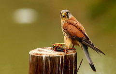 'Stealing The Polar Bear's Dinner!' (ralphashton) Tags: post bird food wings tail feathers kestral meat bearsdinner stolengoods nature explored explore wildlife