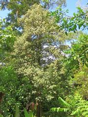 Elaeocarpus holopetalus 3 (barryaceae) Tags: australian national botanic gardens canberra act australianrainforestplant ausrfps black oliveberry elaeaocarpaceae