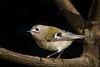 Goldcrest (Regulus regulus) (PINNACLE PHOTO) Tags: regulusregulus goldcrest bird small feathered autmn 2017 martinbillard canon