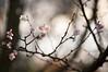 子福桜 ~11月の桜~ (hs_8585) Tags: k3ii da50135mmf28 hiroshima 広島 flower sakura 桜