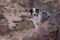 47/52 Searching for Gold (Jasper's Human) Tags: 52weeksfordogs 52wfd dog lostdutchmanstatepark gold aussie australianshepherd